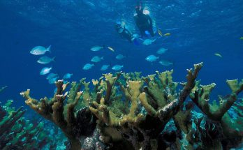 Elkhorn Coral 348x215 - Can Coral Reefs Be Saved?