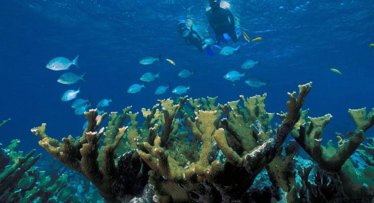 Elkhorn Coral 735x400 - Can Coral Reefs Be Saved?